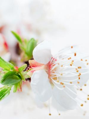 白色开花树开花流动墙纸
