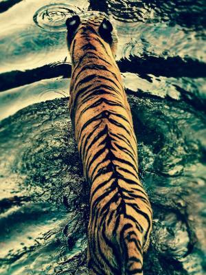 老虎在迪斯尼的动物王国手机壁纸