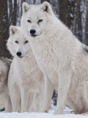 白狼包手机壁纸