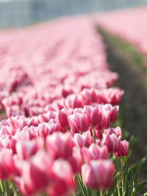 粉红色的郁金香移动壁纸