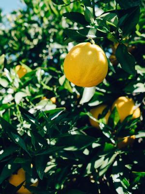 树柠檬果子手机壁纸