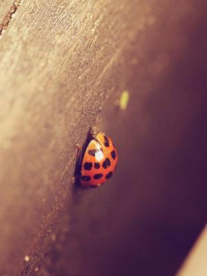 女士甲虫移动壁纸
