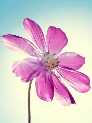 紫色洋红色花移动壁纸