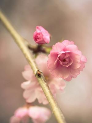 花粉色樱桃手机壁纸